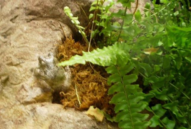 Grey tree-frog (Hyla versicolor).