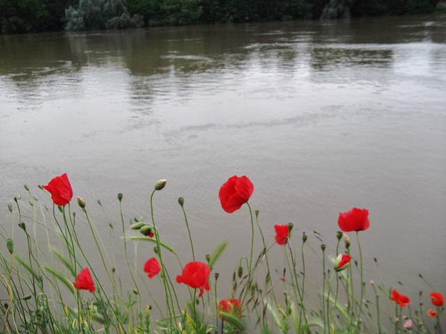 Des coquelicots bordant la Seine
