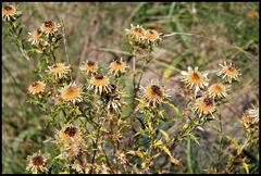 Carlina vulgaris (1)