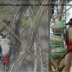 Great Spotted Woodpecker Male & Female (Dendrocopos major) 01