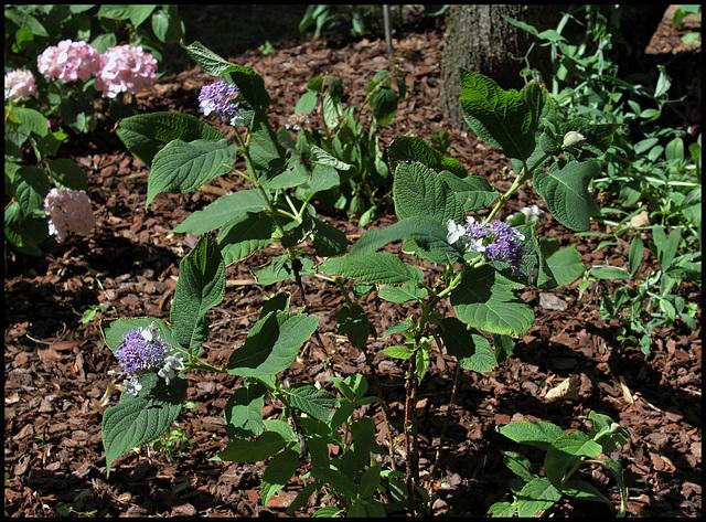 Hydrangea (15)