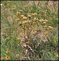 Carlina vulgaris (2)
