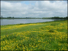 buttercups by the water