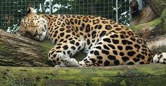 Leopard - Do Not Disturb