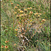 Carlina vulgaris (3)