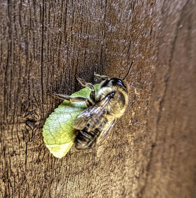 Leaf cutter Bee resting