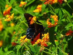 Finally ! Pipevine Swallowtail (Battus philenor)(m)