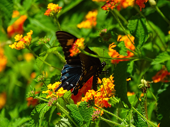 Finally ! Pipevine Swallowtail (Battus philenor)(m)