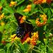 Finally ! Black Swallowtail (Papilio polyxenes)(f)