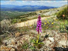 Orchid (Anacamptis picta), overlooking the Lozoya Valley