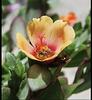 Fleur de Pourprier , habitée