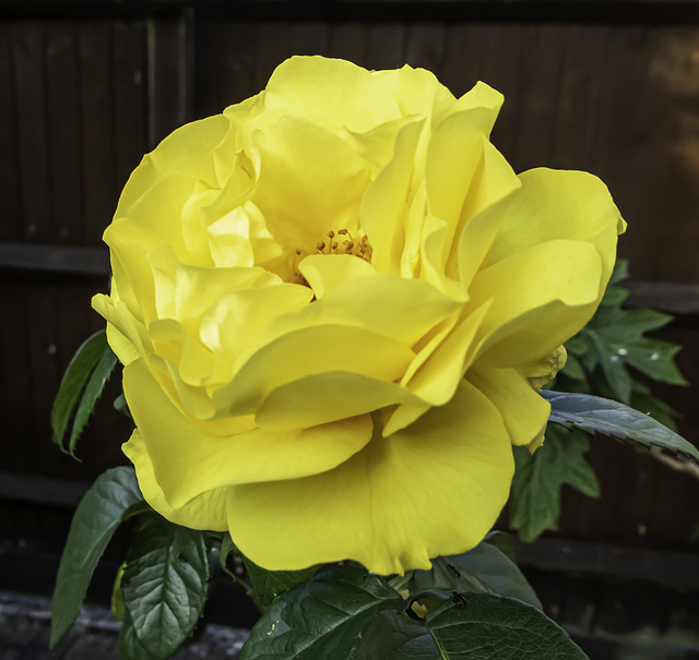 Yellow Rose - Golden Wedding