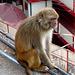 Shimla- Rhesus Macaque