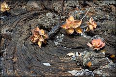lava blooms