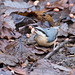 Nuthatch collecting its nuts.
