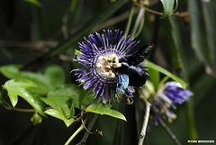 20120716-4346 Passiflora 'Soi Fah'