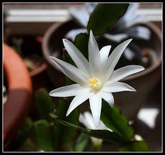 Hatiora hybride blanche (1)