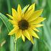 Wild Sunflower sp.
