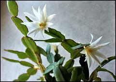 Hatiora hybride blanche (2)