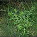 Carlina vulgaris (5)