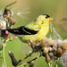 American Goldfinch collecting Thistle seeds