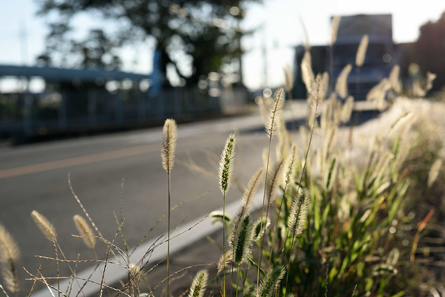 Foxtails at the road edge