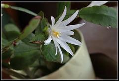 Hatiora hybride blanche (3)