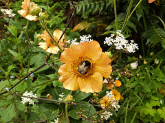 Bumble on a Geum.