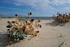 Eryngium maritimum L., Cardo marítimo, Monte Gordo beach