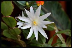 Hatiora hybride blanche (4)