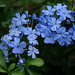 P6101882ac Plumbago Lovely Flowers