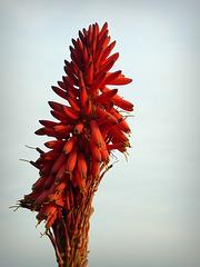 Ritratto di Aloe