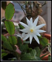 Hatiora hybride blanche (6)