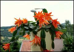 Hatiora orange