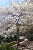 Cherry Tree in DC