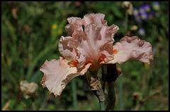 Buisson de Roses (2)