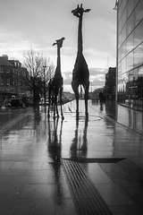 Giraffes in the Rain