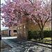 Jericho School cherry tree