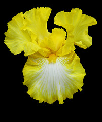 Yellow Iris Close Up (Explored)