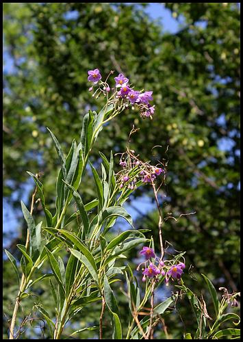 Solanum glaucophyllum (1)