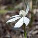 Caladenia carnea (All White Form)