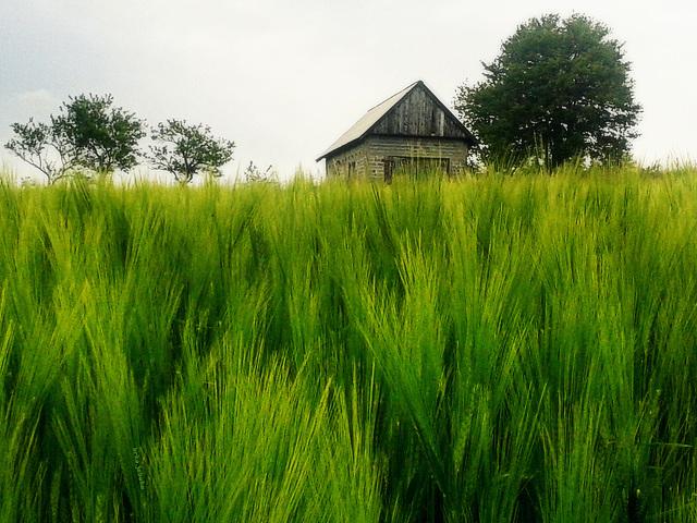 Zeleno žito (Green grain)
