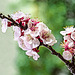 Il fiore dell'albicocco