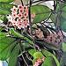 My hoya already has 15 blooms