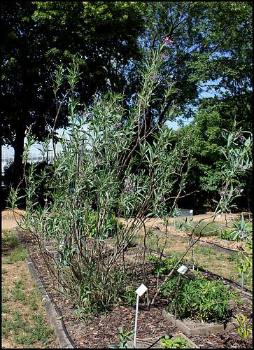 Solanum glaucophyllum (2)
