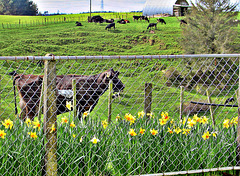 Daffodil Fence.