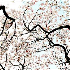 Sakura (桜).