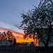 Blooming apple-tree in sunset light