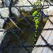 20200816 9614CPw [D~LIP] Libelle, Bad Salzuflen