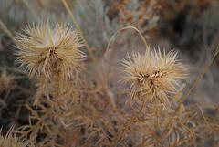 Echinops strigosus